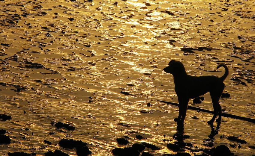 Waiting for the lover Alone Time Lonely Waiting For The Lover Animal Themes Beach Beauty In Nature Day Dog Domestic Animals Low Water Mammal Nature No People One Animal Outdoors Pets Sand Silhouette Sunset Water Connected By Travel An Eye For Travel