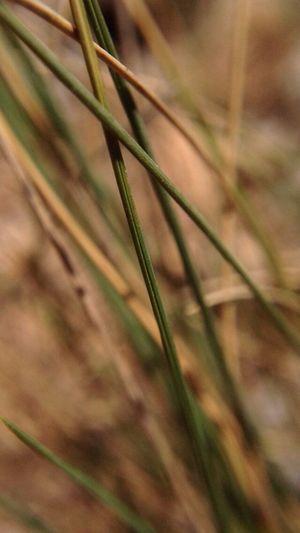 Brushwood Grass Macro