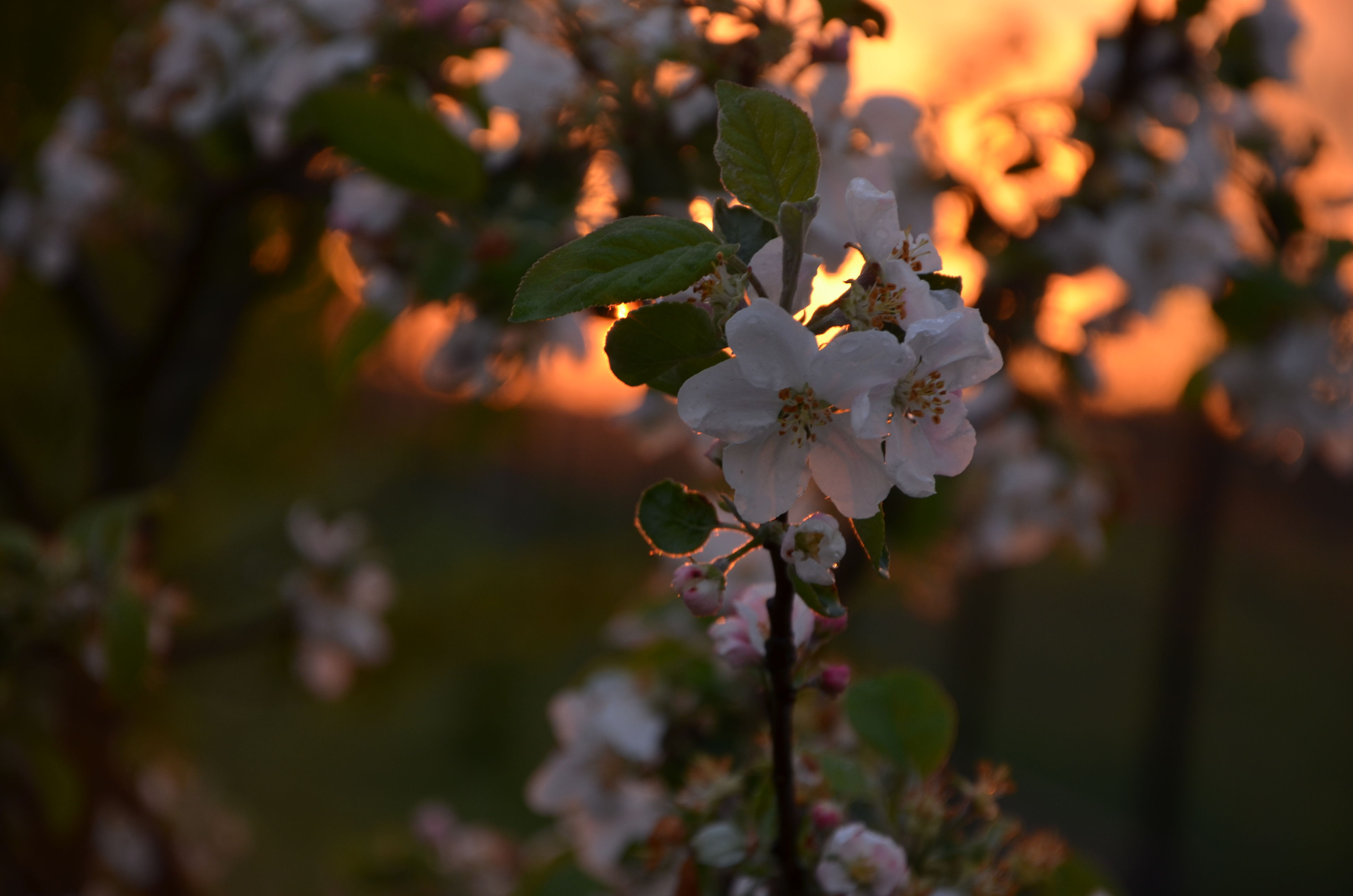 flower, freshness, growth, fragility, beauty in nature, focus on foreground, nature, close-up, petal, bud, plant, blossom, blooming, in bloom, branch, flower head, selective focus, springtime, leaf, stem