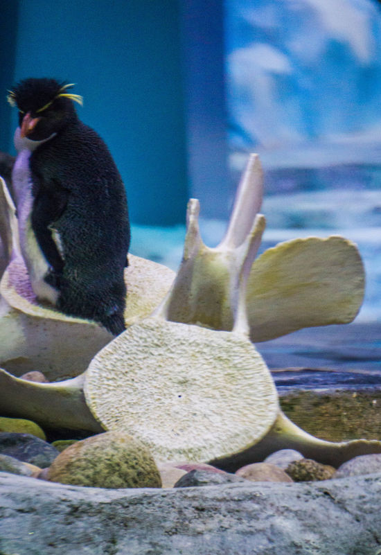 Just go away and leave me be! Animal Themes Animal Wildlife Animals In Captivity Animals In The Wild Aquarium Close-up Day Indoors  Macaroni And Cheese Macaroni Penguin Nature No People One Animal People Sea Life Water
