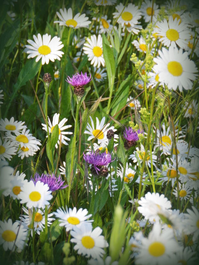 Abundance Beauty In Nature Blooming Blossom Botany Close-up Daisy Day Flower Flower Head Fragility Freshness Green Color Growth In Bloom Nature Nature's Diversities No People Outdoors Petal Plant Pollen Stem White Color Yellow
