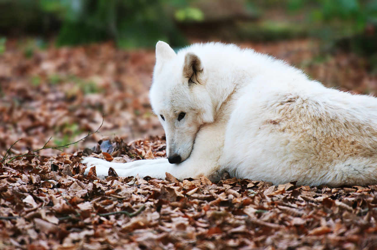 Polar Wolf Animal Head  Animal Themes Close-up Day Fall Field Focus On Foreground Foliage Fur Ground Leaves Lying Down Mammal Nature No People Outdoors Polar Wolf Portrait Relaxation Resting Selective Focus White Wolf