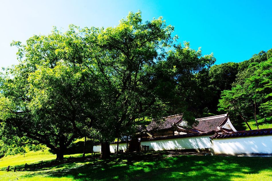 Big Tree Green Covered Shrine Of Japan Fresh Air... Tree Old Architecture Building Exterior Green Color Green And Sky Clouds And Sky Blue Sky Clear Sky Outdoors Travel Atomosphere Beauty In Nature Okayama Okayama,Japan Light And Shadow August 2016