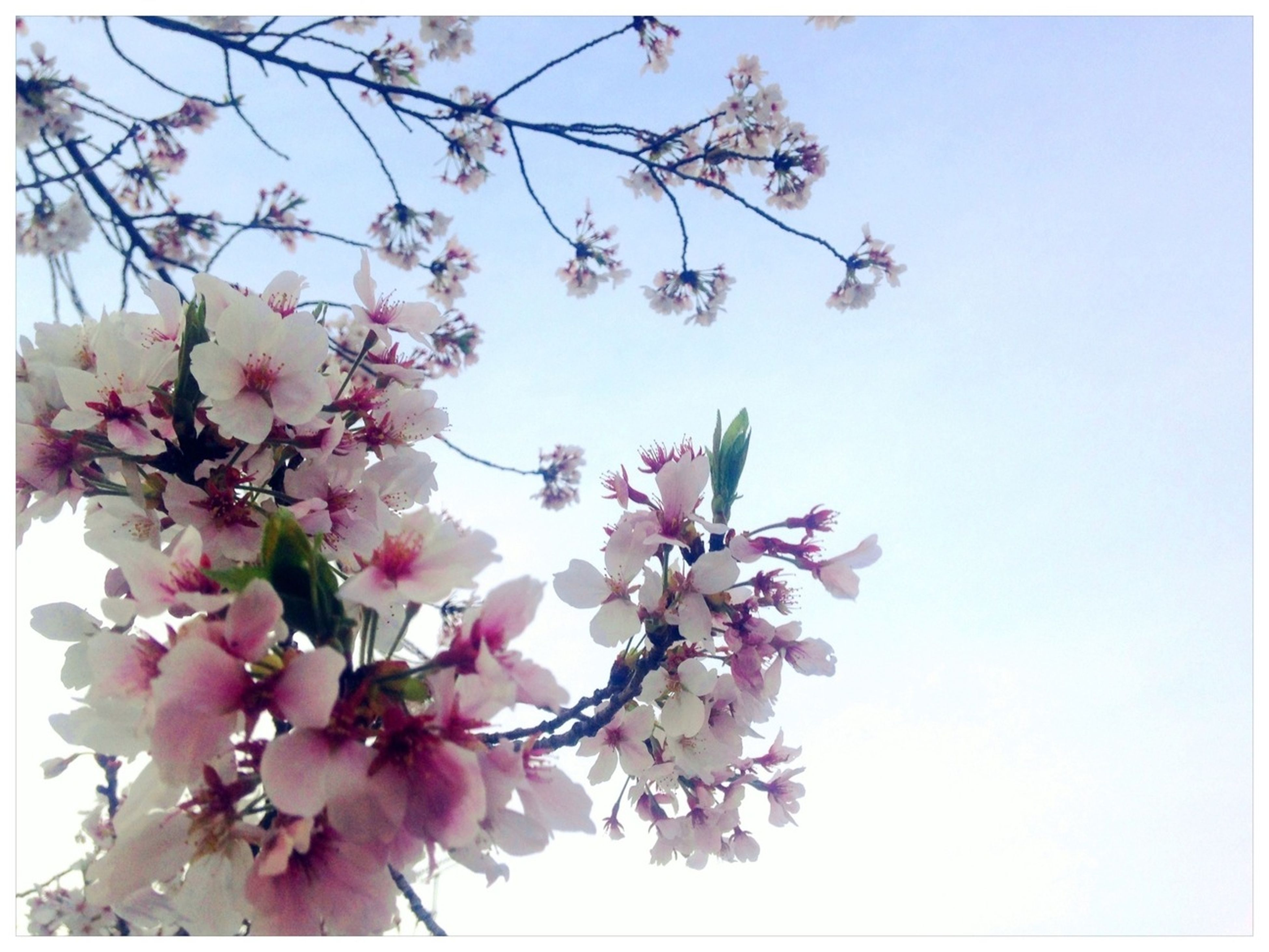 flower, freshness, branch, low angle view, growth, fragility, tree, blossom, beauty in nature, clear sky, cherry blossom, nature, cherry tree, pink color, in bloom, springtime, petal, blooming, fruit tree, twig