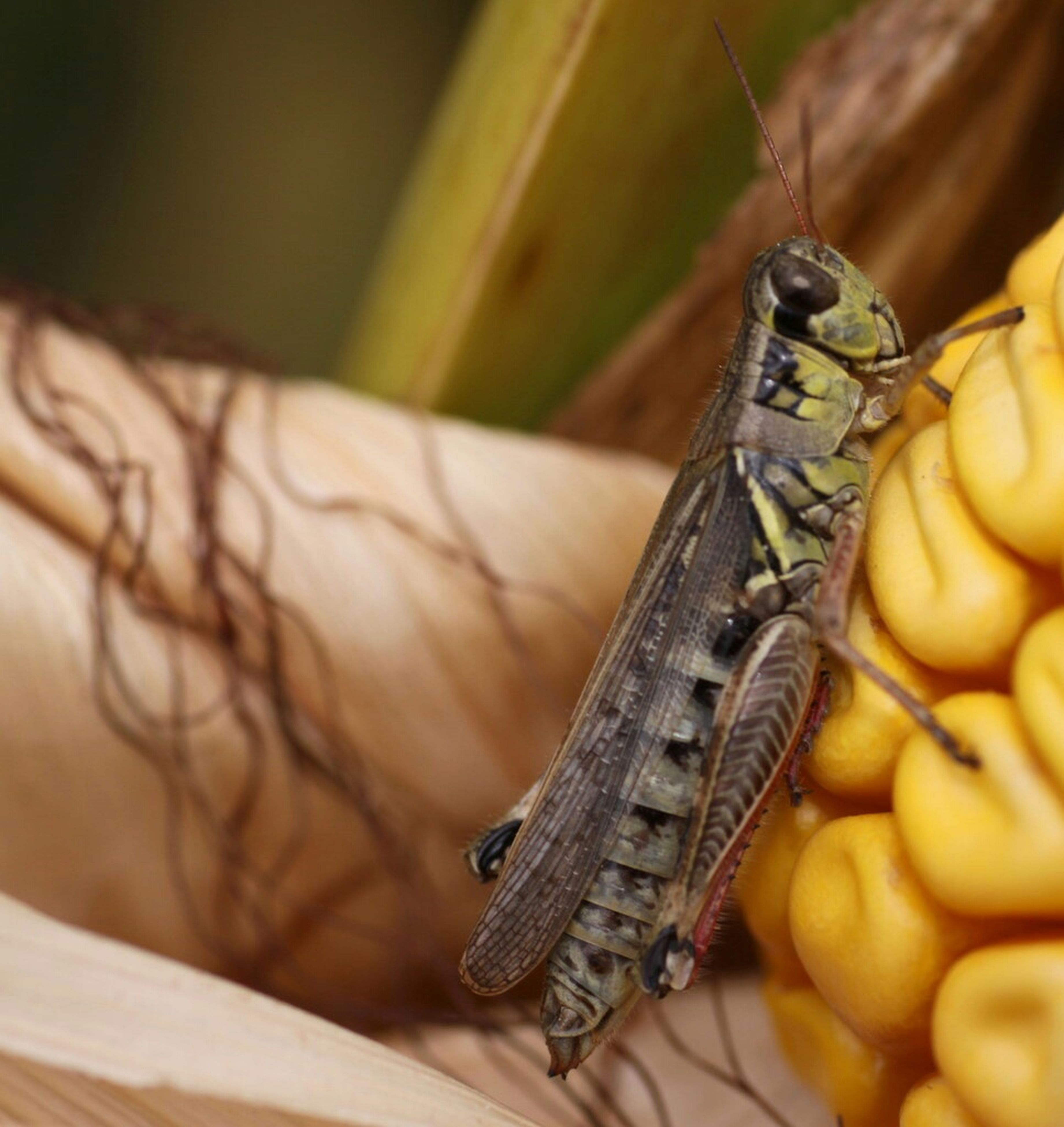 animal themes, animals in the wild, one animal, insect, wildlife, close-up, focus on foreground, animal antenna, animal wing, animal wildlife, reptile, grasshopper, selective focus, two animals, zoology, outdoors, wood - material, day, nature, animal markings