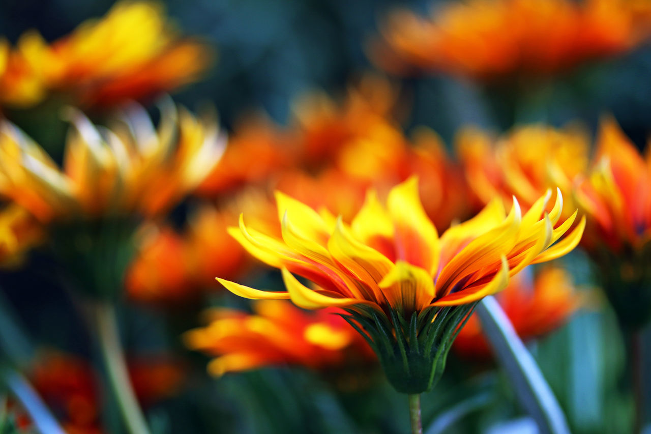 Beauty In Nature Close-up Day Flower Flower Head Freshness Nature No People Orange Color Outdoors Petal Yellow Red Daisies