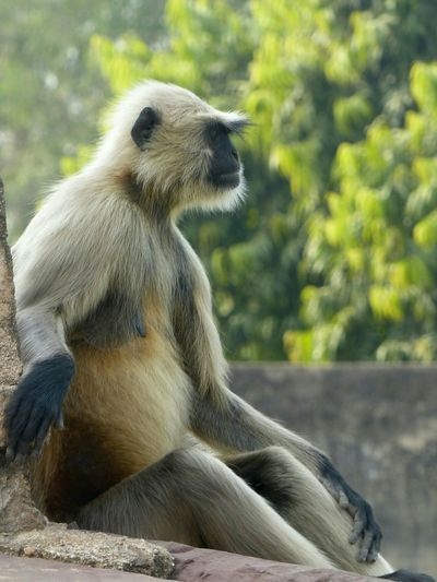 A monkey mother, hanging out, and watching her kids! Maybe it's just me, but it looks to me like she's got a punk haircut and outfit. Photo taken outside a temple in India. Taking Photos Hanging Out Check This Out India Incredible India Monkey Mother The Traveler - 2015 EyeEm Awards The Street Photographer - 2015 EyeEm Awards Travel Photography