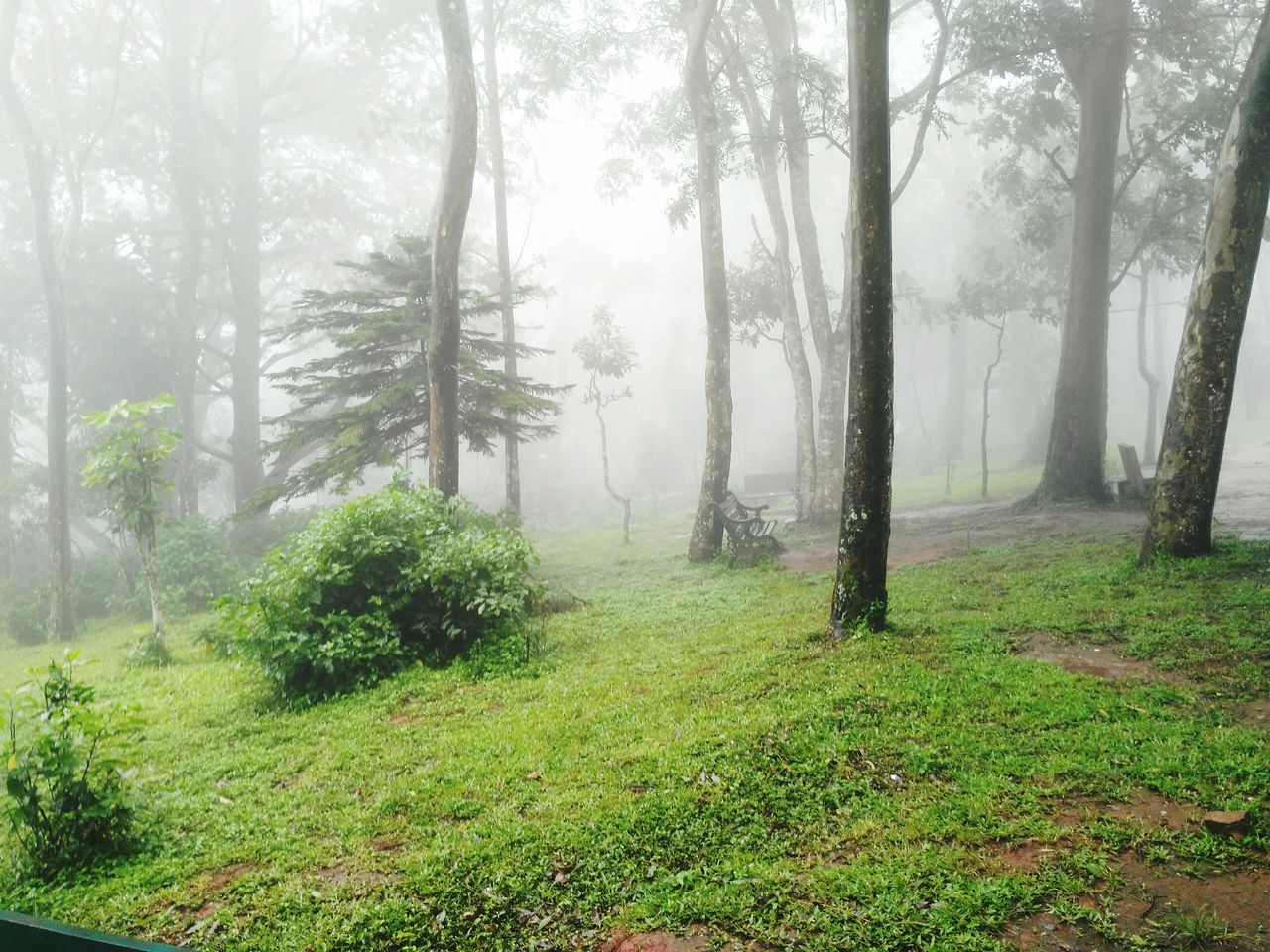 Grass Forest Scenics Weather Foggy Tree Plant Mist Nature Misty Day Non-urban Scene Fog
