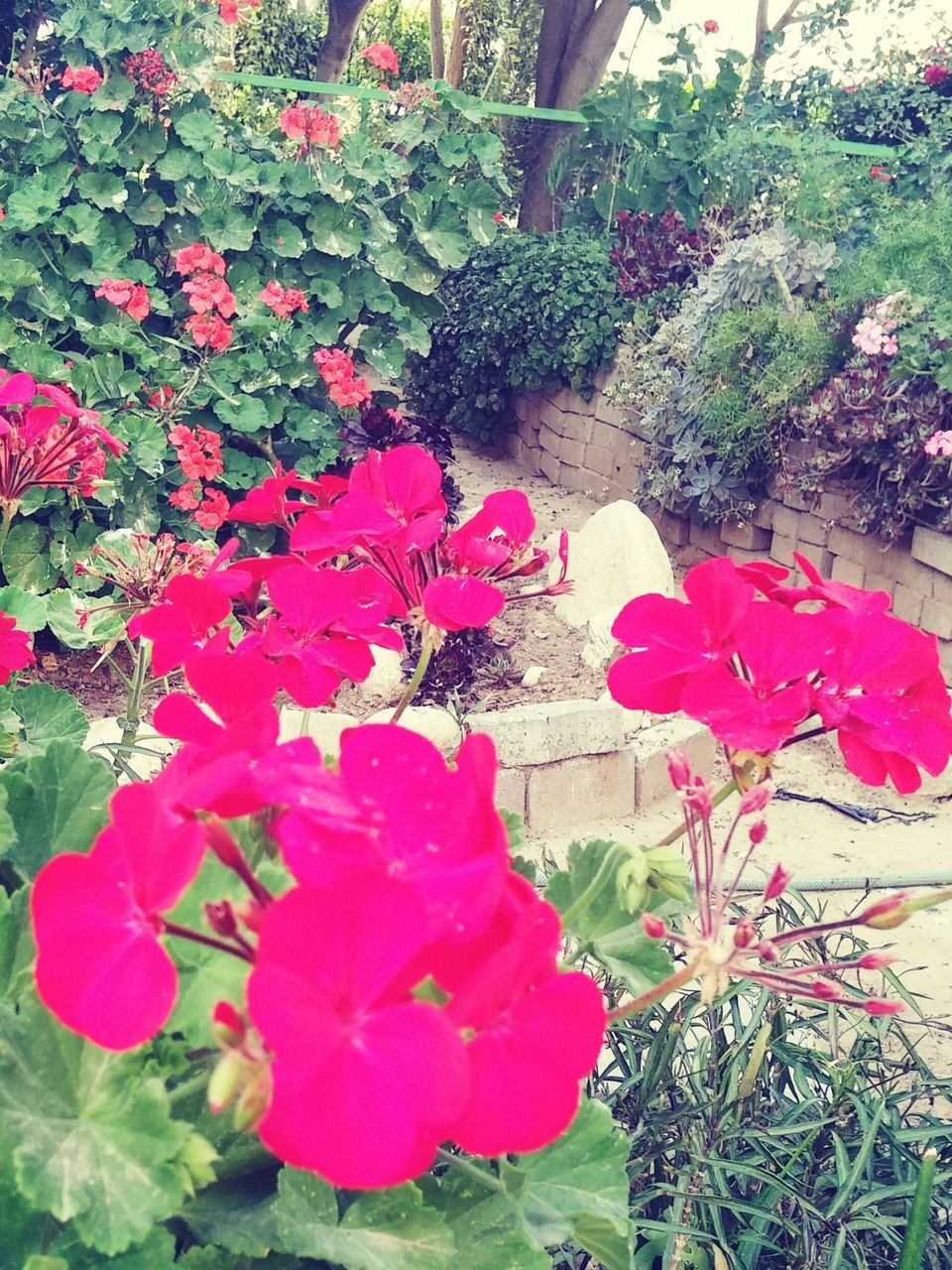 growth, flower, plant, nature, beauty in nature, pink color, no people, petal, day, outdoors, fragility, leaf, blooming, flower head, red, freshness, close-up, petunia, periwinkle