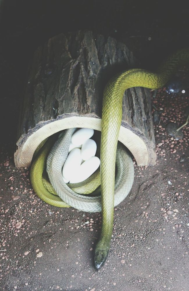 Snake Venomous Snakes Venomous Snake Venomoussnake Venom Venomous Taipan ZooLife ZOO-PHOTO Zoophotography Zooanimals Zoo Animals  Zoology Zoo BreedingTime Breeding Breed Animal Love Animal Photography Animals Animal Partner Partnership Snakes Snake ♥