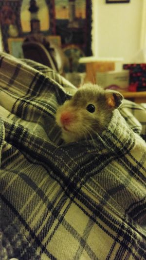 My little silver. Cheese! Hamster Love First Eyeem Photo