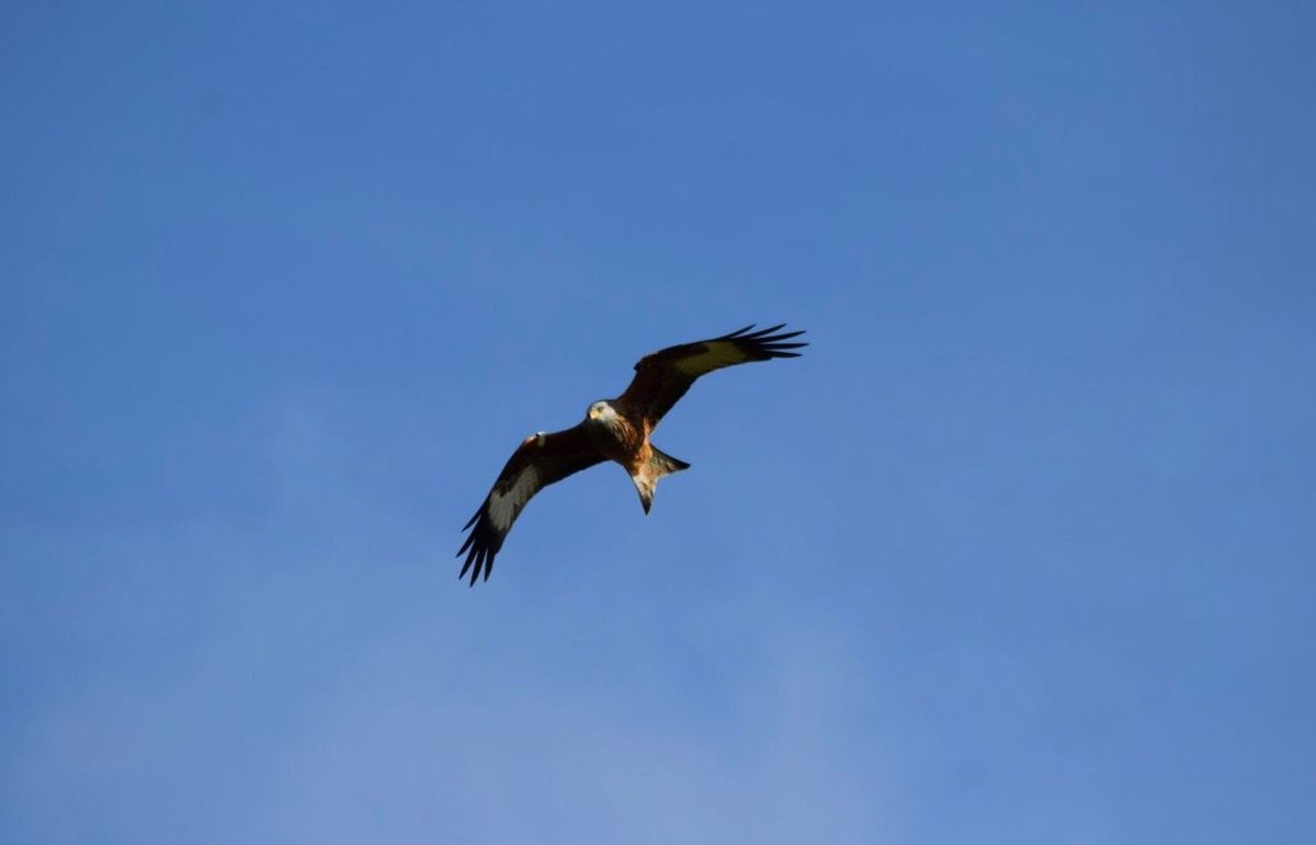 Landscape Animal Wildlife One Animal Animal Themes Clear Sky Blue Animals In The Wild Flying Bird Clear Sky Spread Wings Low Angle View Animals In The Wild Nature Redkite