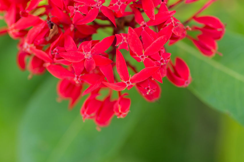 Beauty In Nature Blooming Close-up Day Flower Flower Head Focus On Foreground Fragility Freshness Growth Ixora Nature No People Outdoors Petal Plant Red