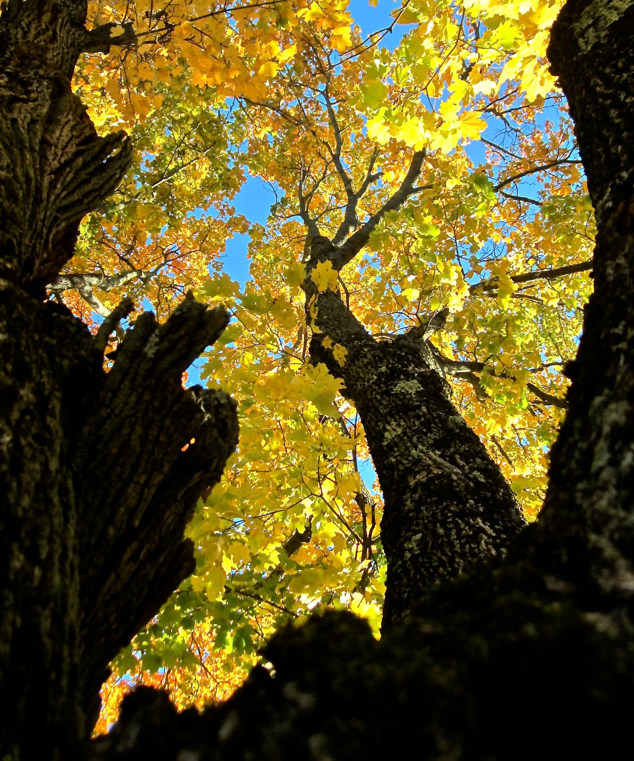 This tree has been in my life since I was 3 years old. As a child I used to climb in it. Tree Lover Tree Fall Colors Old Friend Maple Tree Hugging A Tree