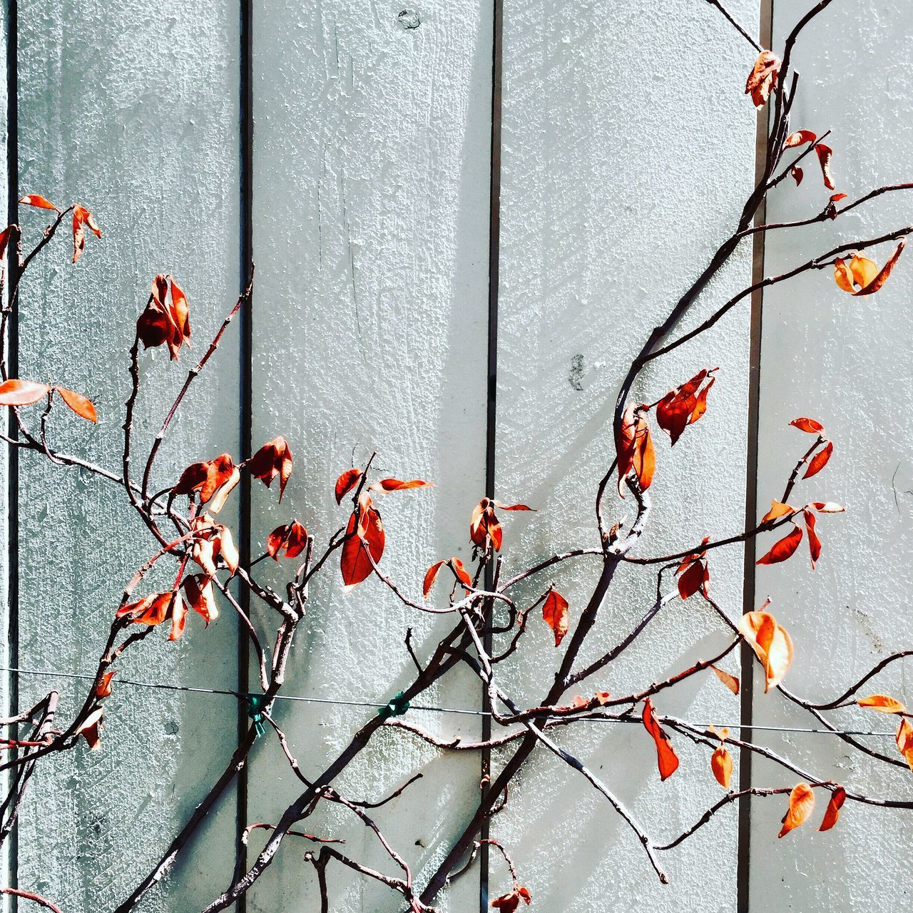 Dried Plant Against Fence On Sunny Day