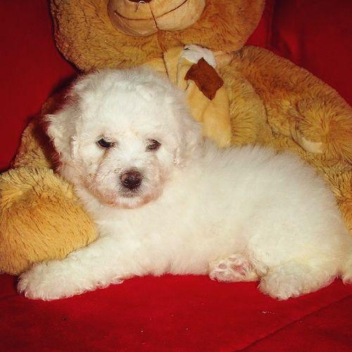 Bichonfrise Bichon Cute♡ Cute Pets