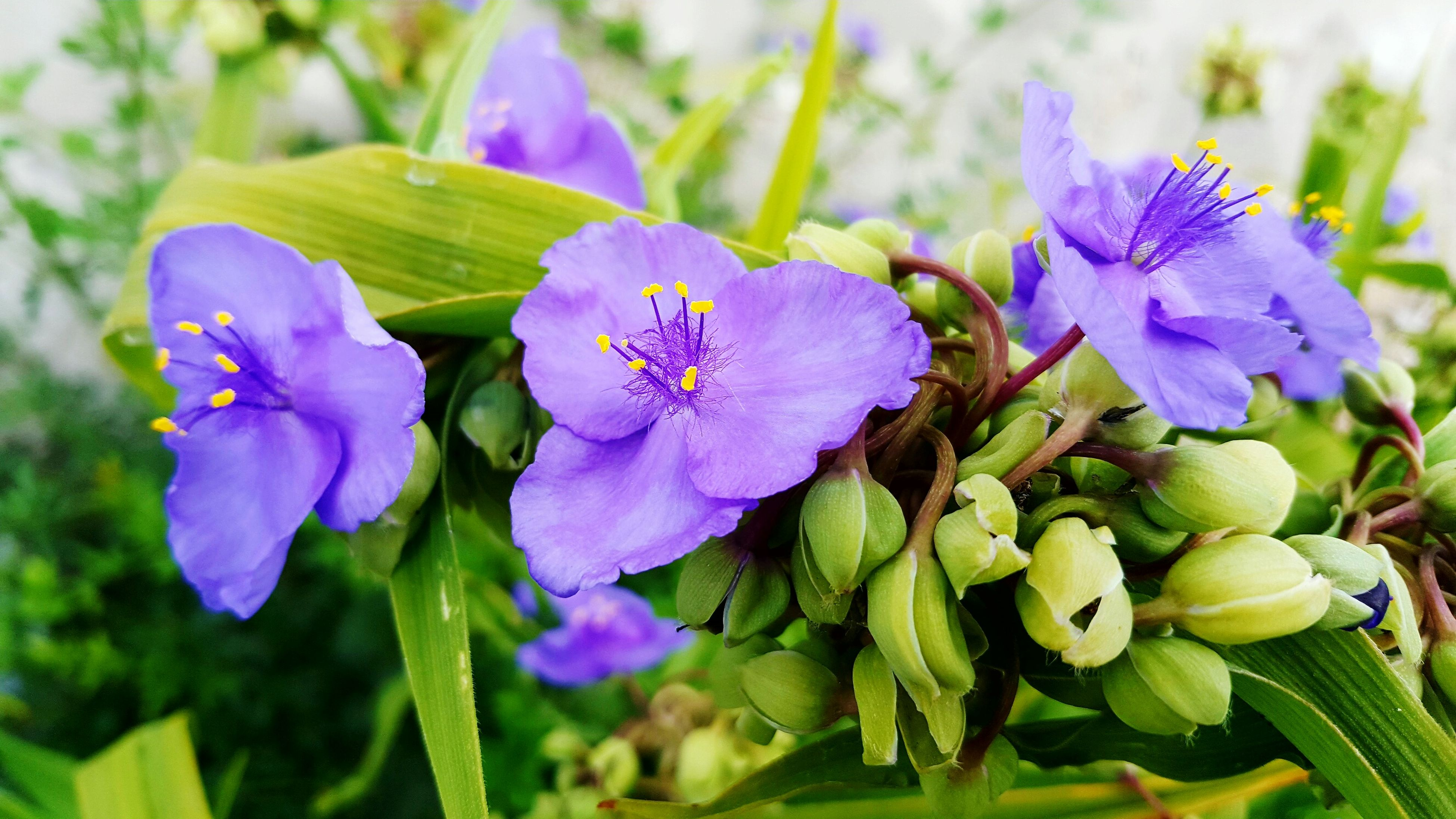 flower, freshness, purple, petal, fragility, flower head, growth, beauty in nature, close-up, plant, blooming, focus on foreground, nature, leaf, in bloom, day, pollen, park - man made space, outdoors, no people