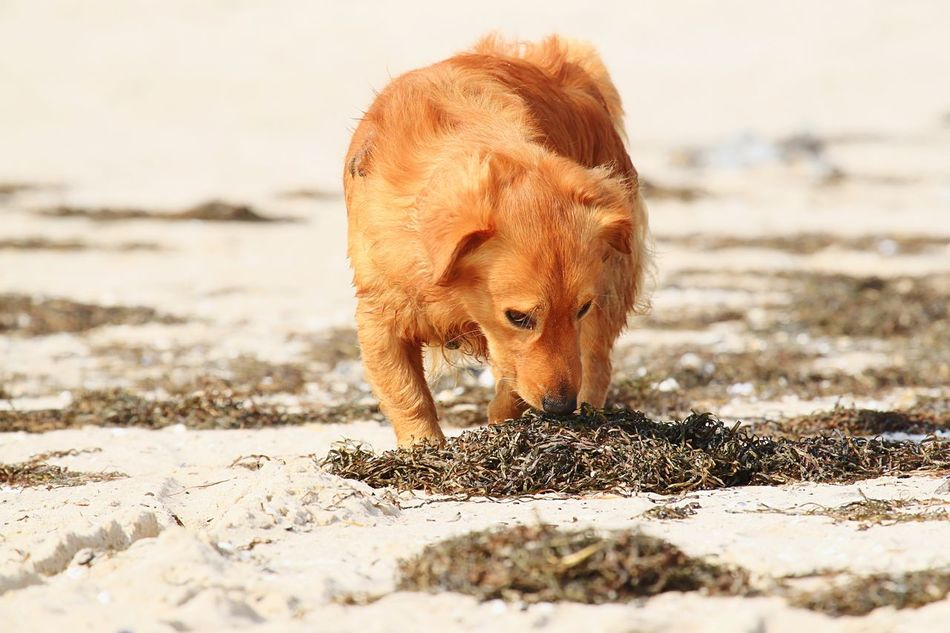 Beautiful stock photos of golden retrievers, Animal Themes, Beach, Brown, Canine