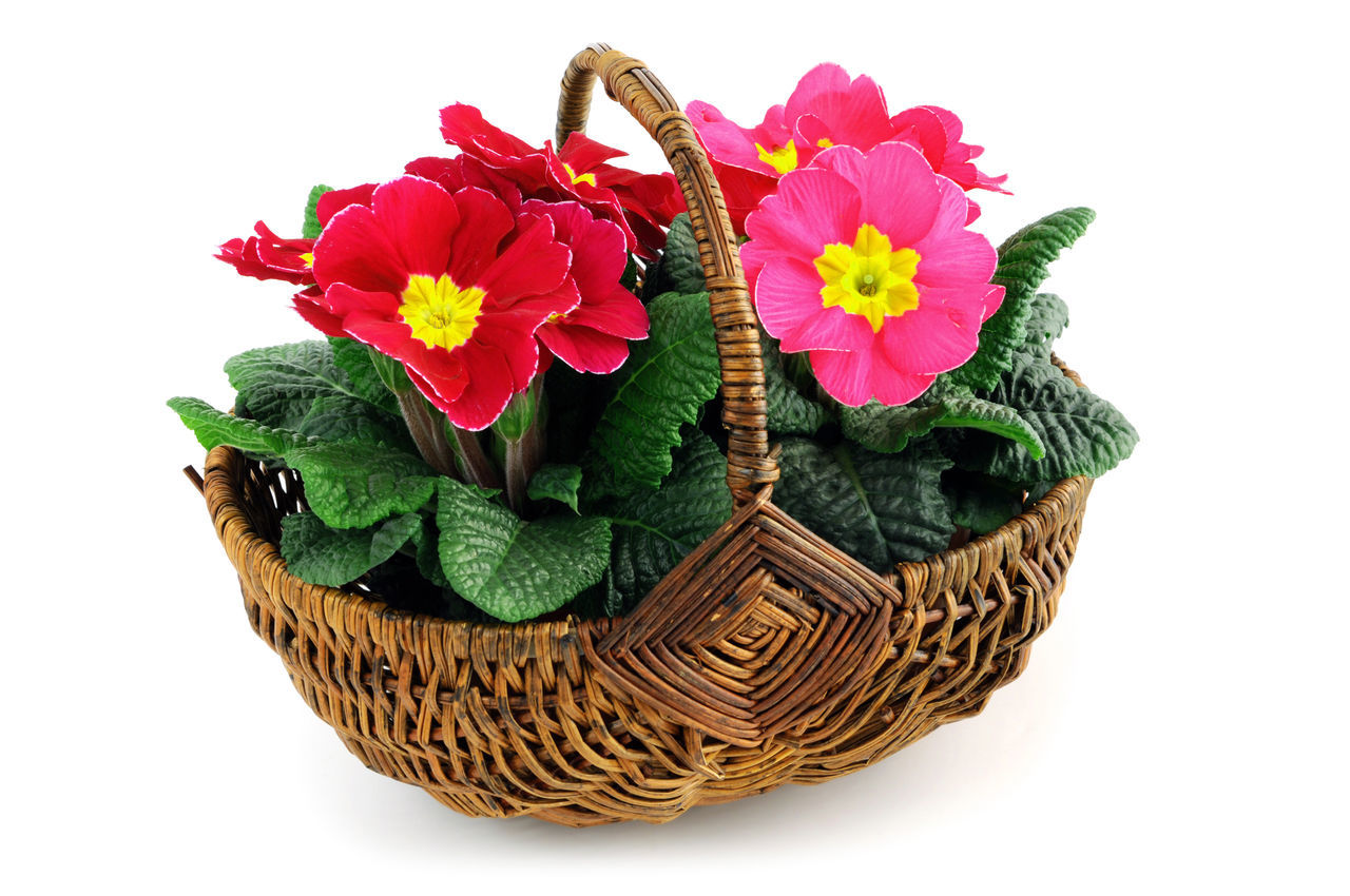 pink primrose in a basket on white isolated background Flower Flower Head Pink Pink Color Pink Flower Primrose Primroses Primula Primulas Studio Shot Two White Background