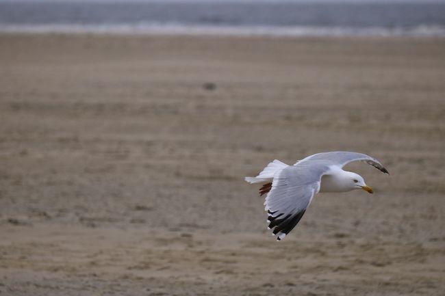 Gulls In Flight Gull Texelstrand Texel