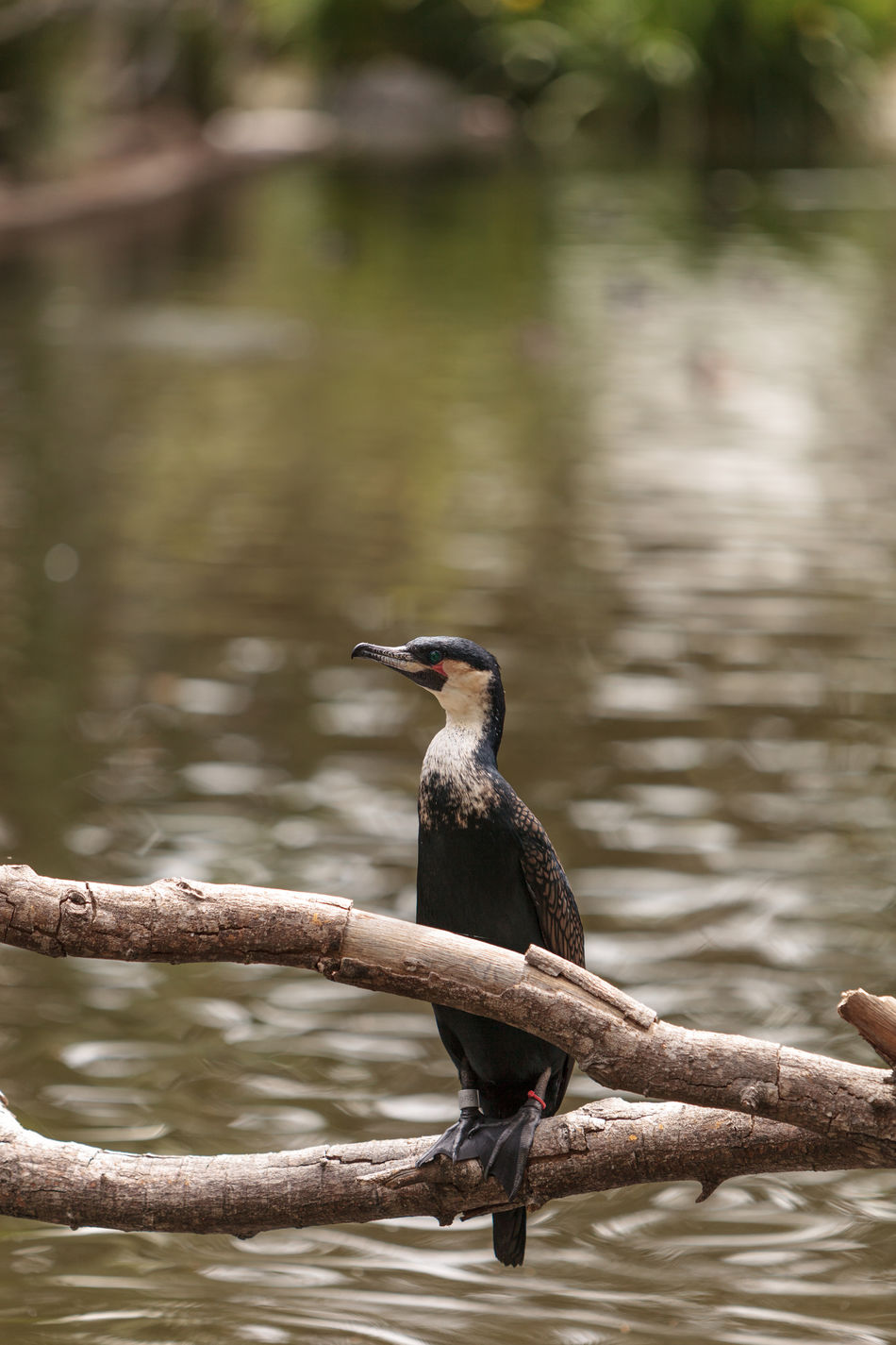 Double-crested Cormorant, Phalacrocorax auritus, is a black fishing bird found in lakes and rivers in North America Animal Animal Themes Animal Wildlife Animals In The Wild Beauty In Nature Bird Close-up Cormorant  Day Double-crested Cormorant Nature No People One Animal Outdoors Perching Phalacrocorax Auritus