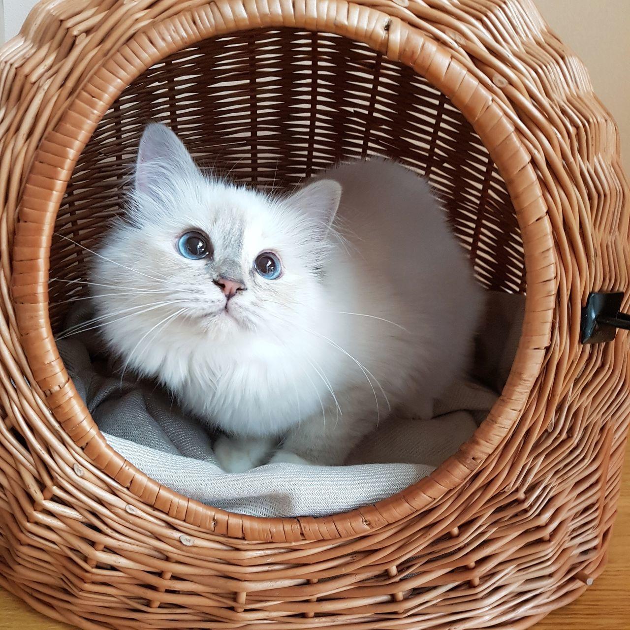 Pets Domestic Cat Basket Katze Cat Kitten Birman  Blaue Augen