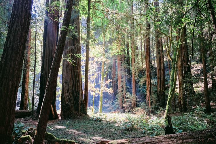 California California Coast Muir Beauty In Nature Forest Muir Woods No People Redwood Trees Redwoods Tranquil Scene Tree Wilderness Area