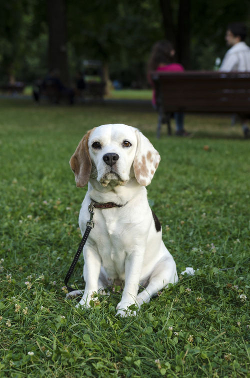 Adult Animal Anti-parasite Bark Beagle Breed Coat Collar Dog Family Female Hunt Instinct Laboratory Leash Outdoor Pet Scent Hound Smell Temper Test Track Tricolor Veterinary Wither