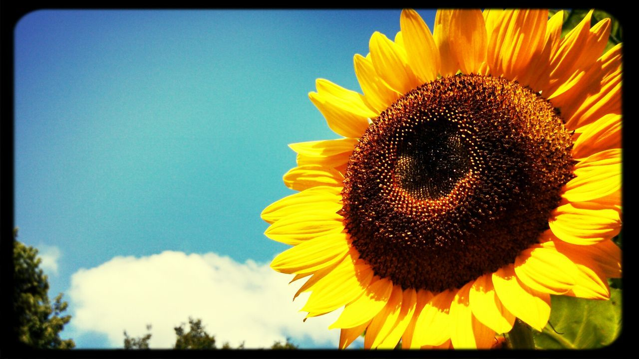 Filtered Eye For Photography Sunflower Summer Time