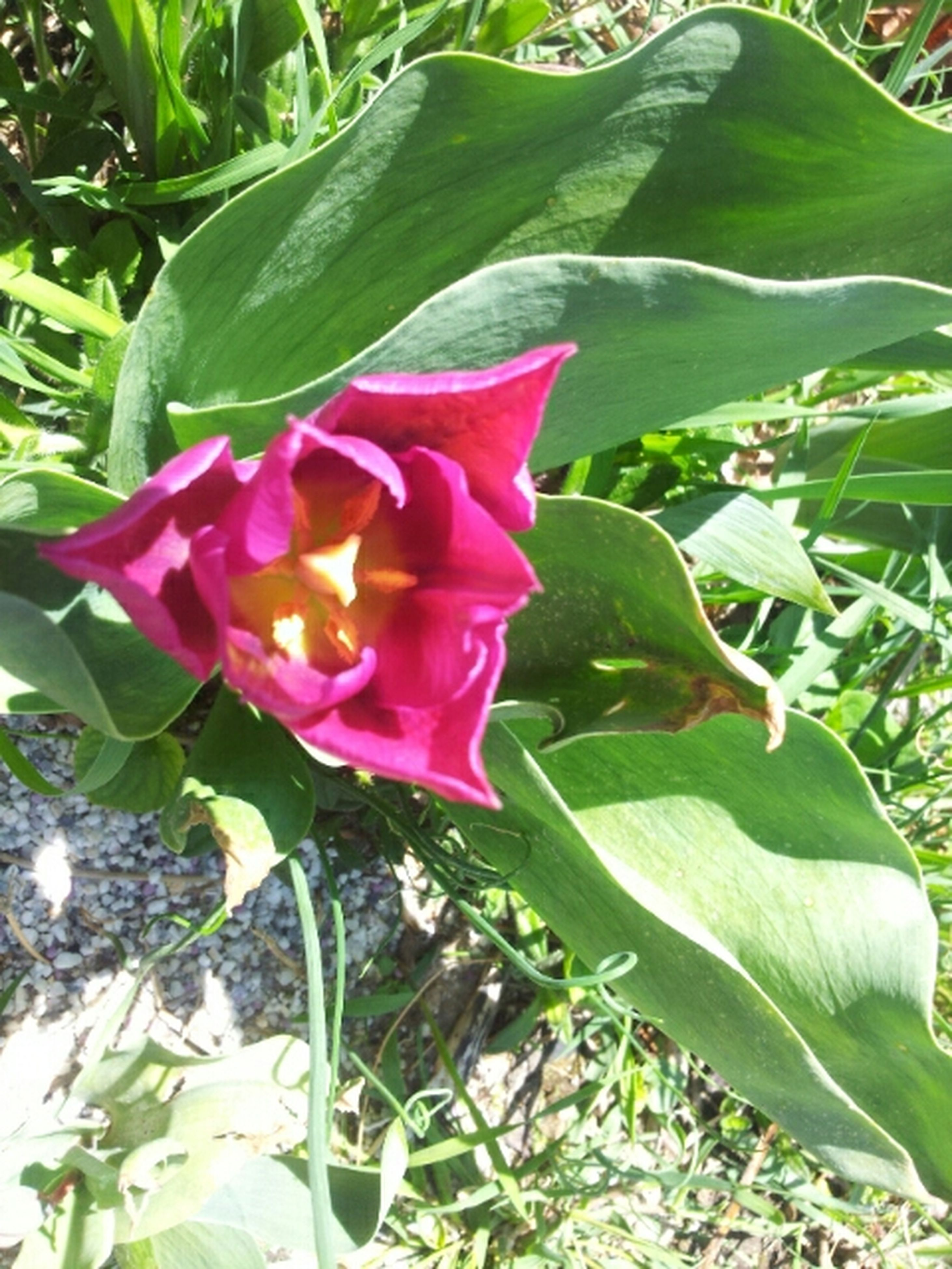 flower, freshness, growth, petal, leaf, fragility, beauty in nature, flower head, nature, plant, green color, blooming, pink color, tulip, close-up, rose - flower, blossom, in bloom, day, outdoors