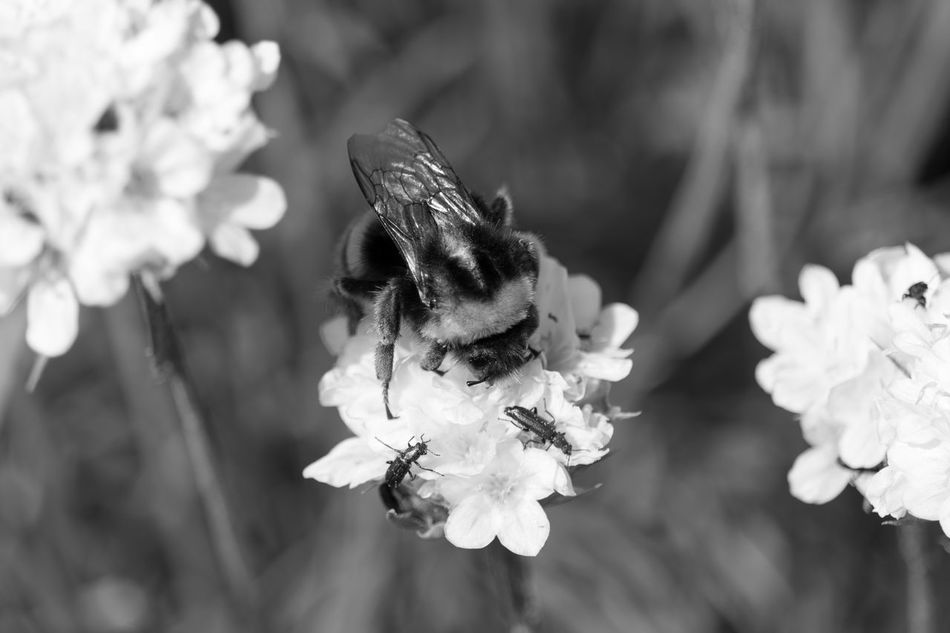Animal Themes Black & White Black And White Blackandwhite Blackandwhite Photography Bnw Bumble Bee Bumblebee Close-up Eye4photography  EyeEm EyeEm Best Shots EyeEm Bnw EyeEmBestPics Insect Insect Macro  Insect Paparazzi Insect Photography Monochrome Nature Outdoors Petal