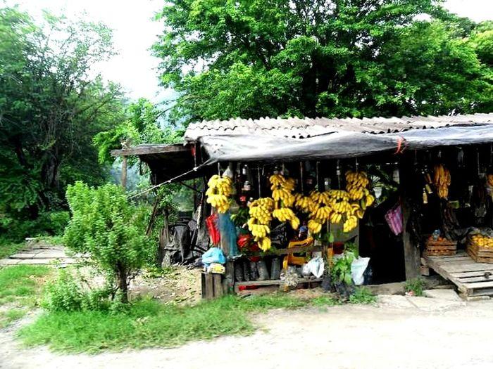 Bananas Bananas For Sale Yellow Green Trees Mexico Veracruz Platanos Rural Country