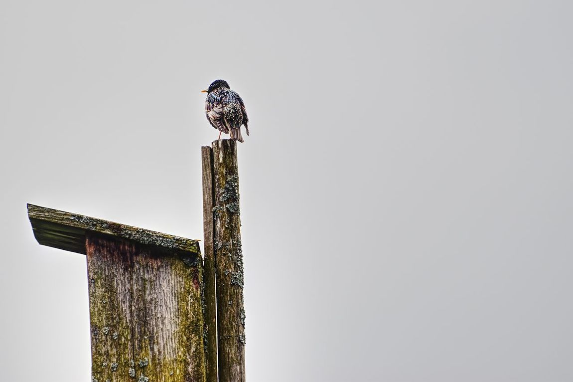 Bird Copy Space Perching Animals In The Wild Clear Sky Low Angle View Animal Themes One Animal No People Day Outdoors Animal Wildlife Built Structure Nature Architecture Bird Of Prey Sky EyeEm Selects Star Gemeiner Star Sturnus Vulgaris