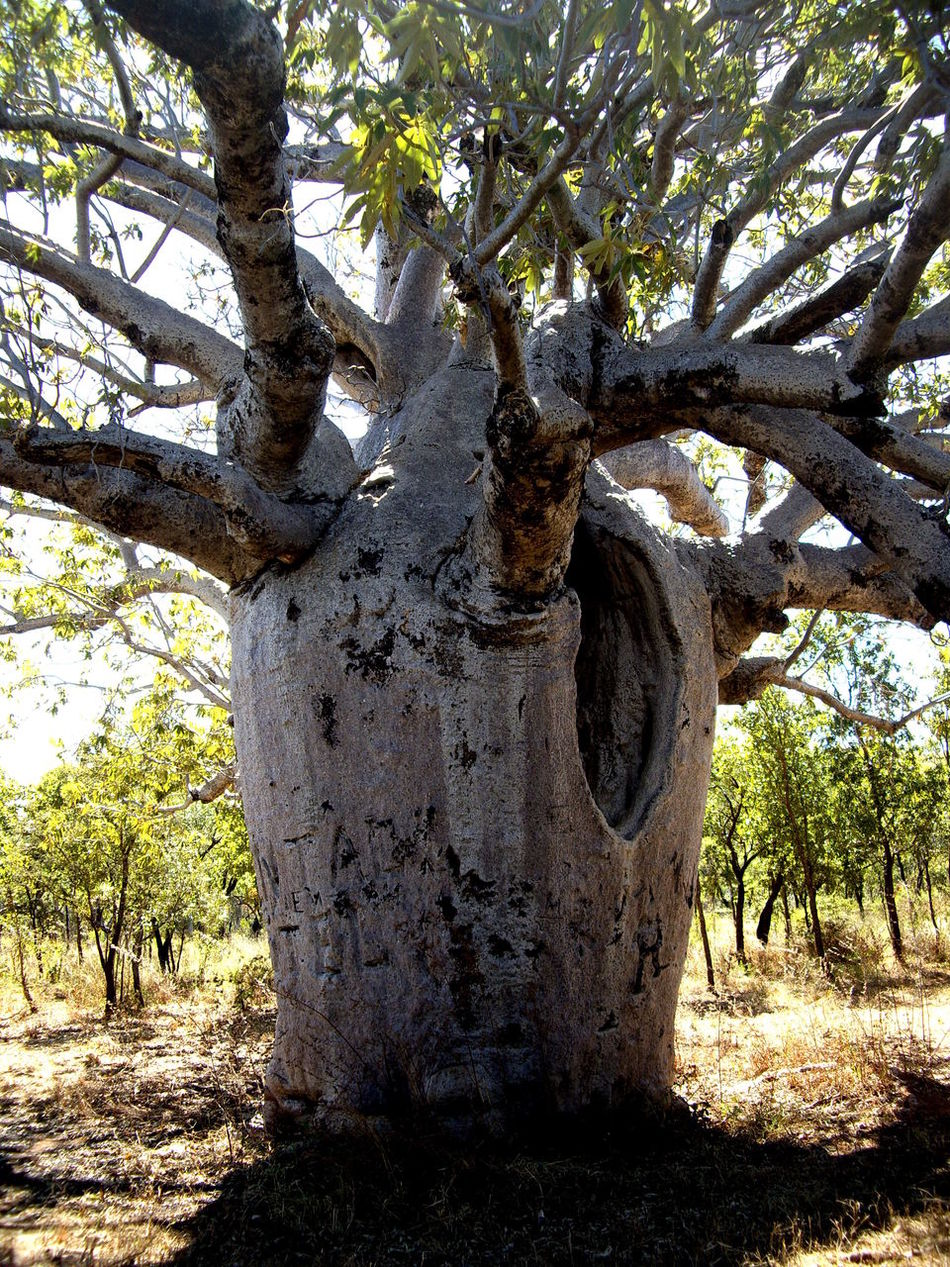 Australia Beauty In Nature Boab Tree Branch Countryside Day Field Green Color Growth History Large National Park Nature No People Non-urban Scene Outback Outdoors Park Scenics Single Tree Tranquil Scene Tranquility Tree Tree Trunk