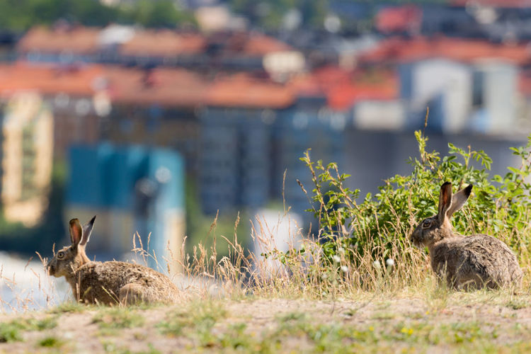 Hares or wild rabbits in the city of Stockholm Animal Wildlife Buildings In Background City Cityscape Focus On Foreground Hare Mammal No People Outdoors Rabbit Wild Animals In The City