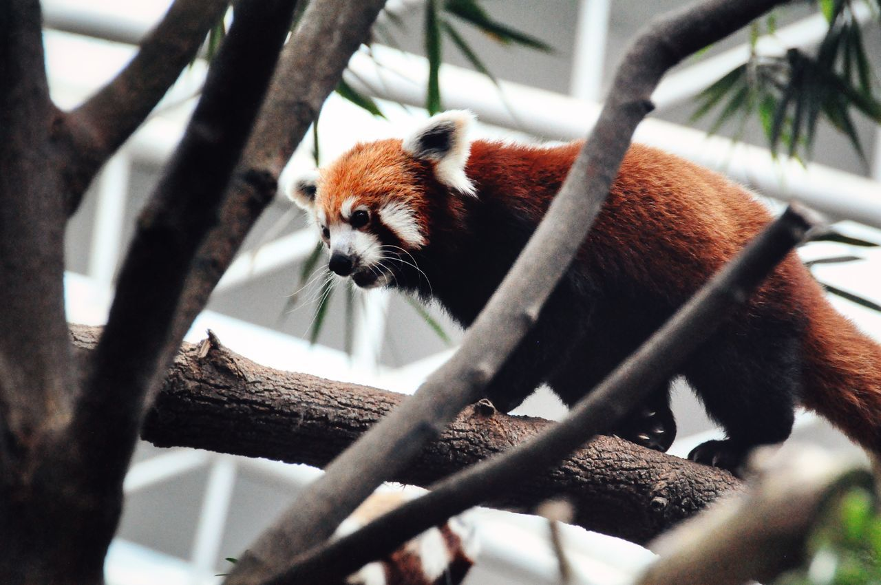 Animal Themes Animal Wildlife Animals In The Wild Brown Cute Cute Animals Day Lazy Mammal Nature No People One Animal Outdoors Panda - Animal Red Panda Red Panda Tree Tree Woods Zoo Zoo Animals
