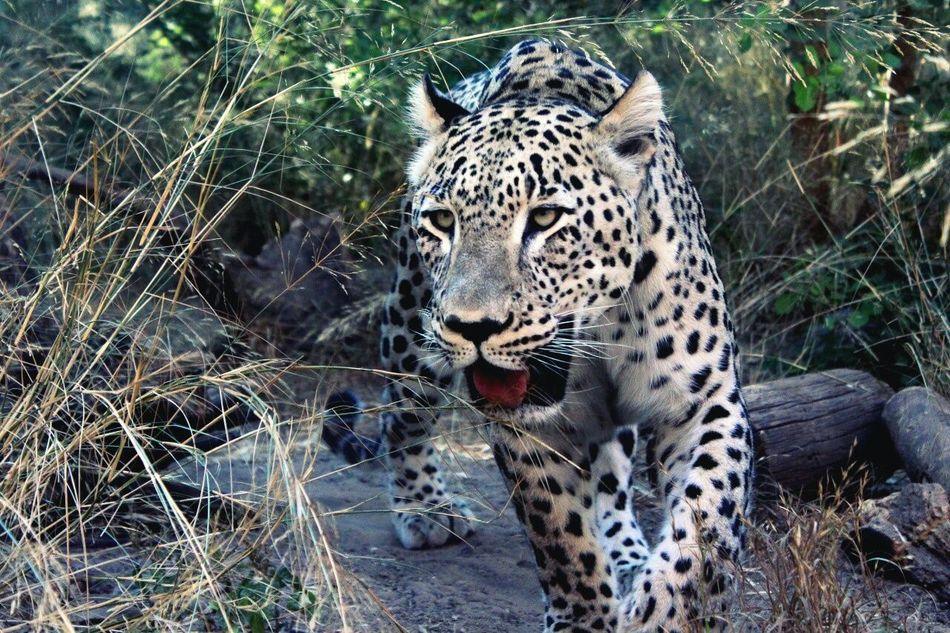 Beautiful stock photos of leopard, Animal Themes, Animal Wildlife, Animals In The Wild, Close-Up