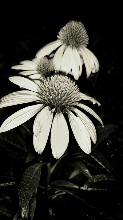 Flower Fragility Flower Head Nature Plant Growth No People Petal Freshness Close-up Beauty In Nature Outdoors Day Black And White Flowers At Night Garden Flower Collection Flowerporn Beautiful Details Of Nature Night Photography Macro Beauty Freshness Plant