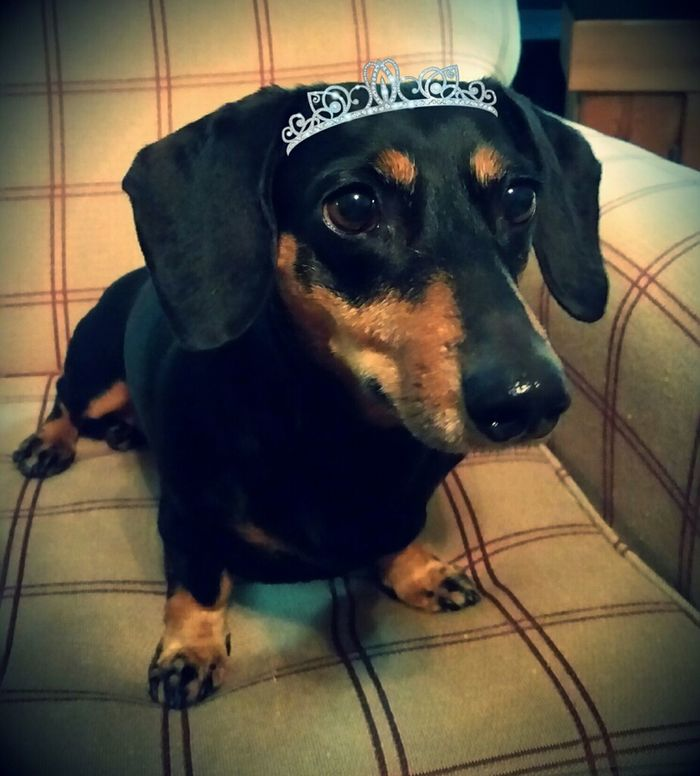Pets Domestic Animals Dog Portrait Day Abagail <3 Doxie Love Doxie Moxie