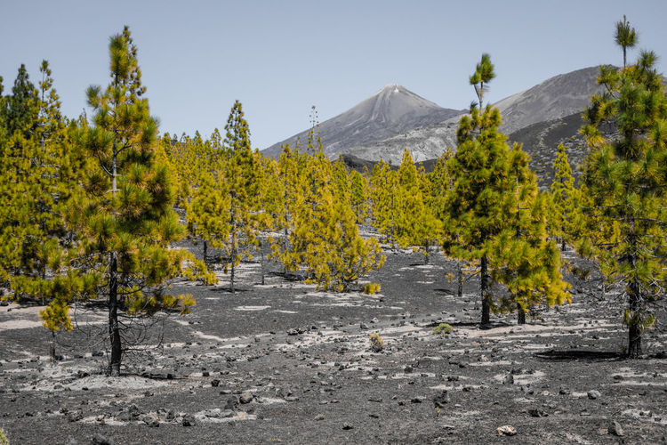 Beauty In Nature Clear Sky Day Landscape Mountain Nature No People Outdoors Scenics Sky SPAIN Teide National Park Tenerife Tranquil Scene Tranquility Tree Vulcano Yellow