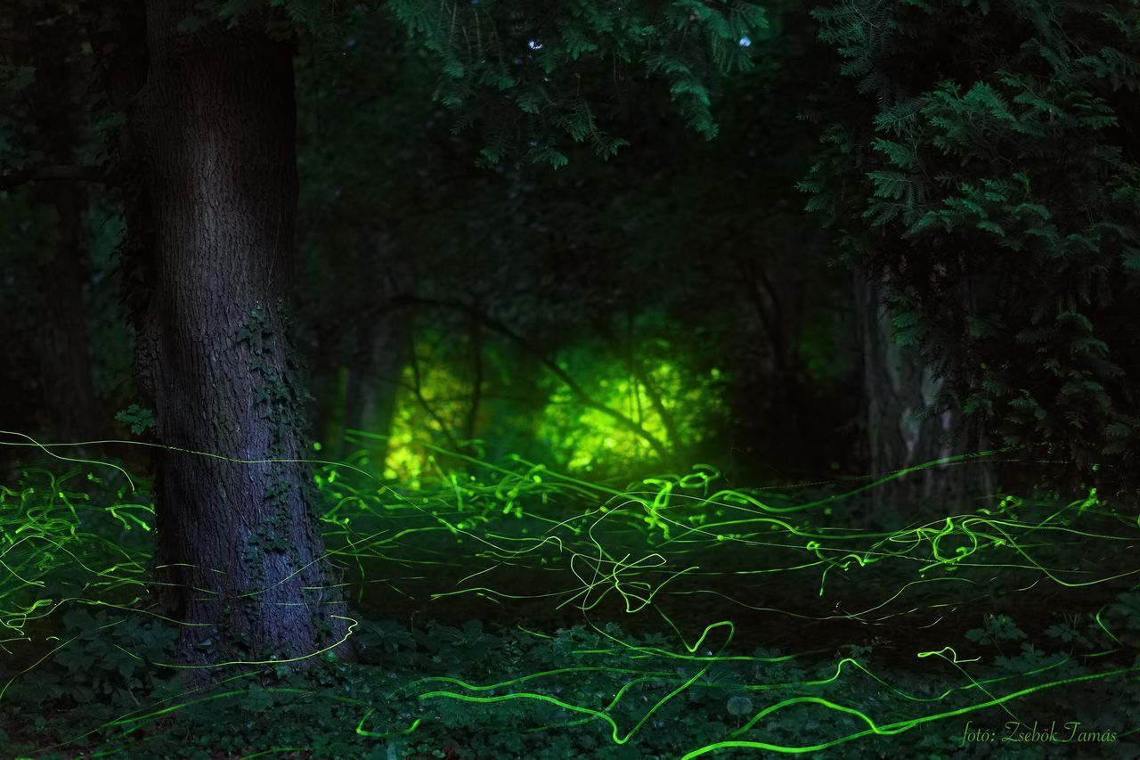 Firefly Fireflies Lampyris Noctiluca Glow-worm Glow Worm Forest Nature Night Dusk Evening Landscape Dreamy Forest Fairytale