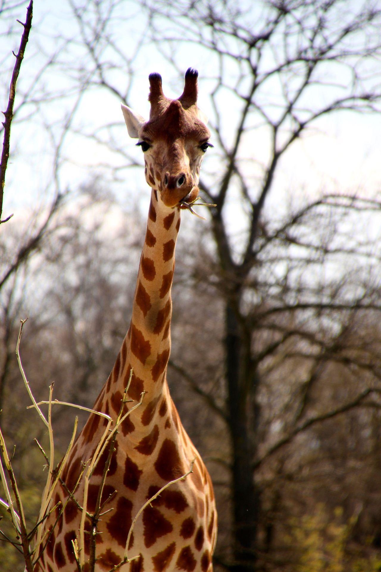 Beautiful stock photos of giraffe, Animal Body Part, Animal Marking, Animal Neck, Animal Themes