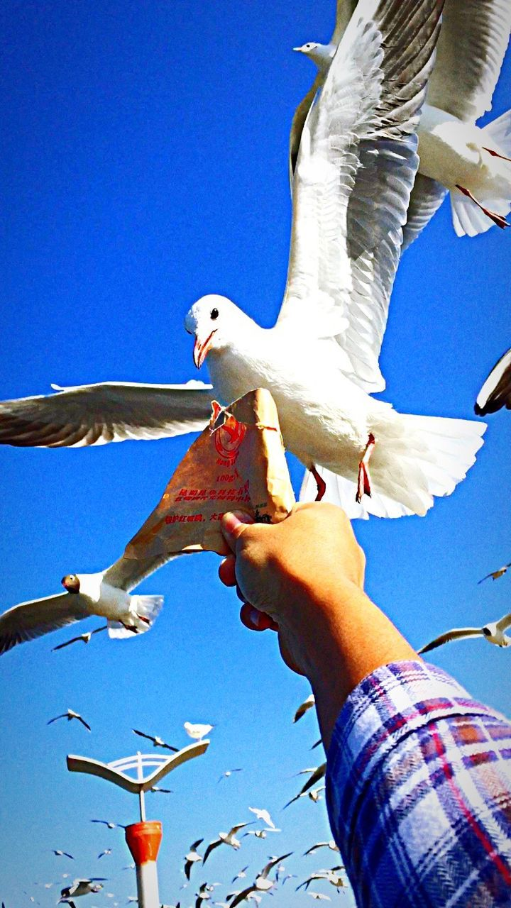 human hand, bird, real people, human body part, holding, day, one person, outdoors, low angle view, animals in the wild, one animal, blue, lifestyles, clear sky, sky, men, perching, nature, spread wings, people