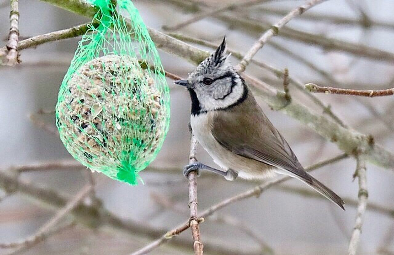 no people, hanging, animal themes, focus on foreground, bird, animals in the wild, close-up, day, bird feeder, animal wildlife, nature, perching, winter, outdoors, mammal