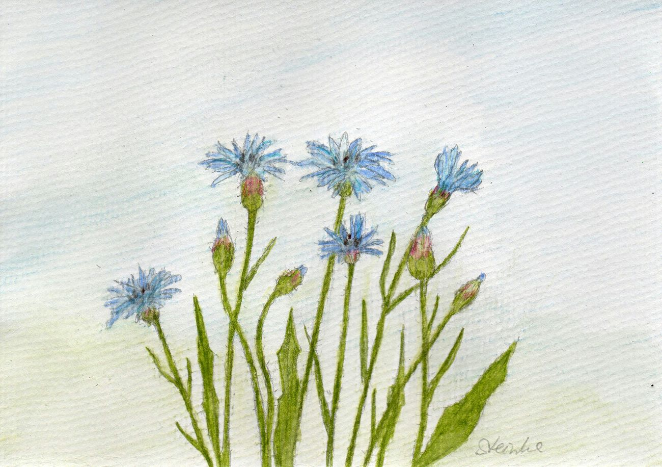 Einige Kornblumen Cornflower Kornblume Art Kunst Aquarium Malerei Drawing Paintings Aquarellpencil Watercolor Painting
