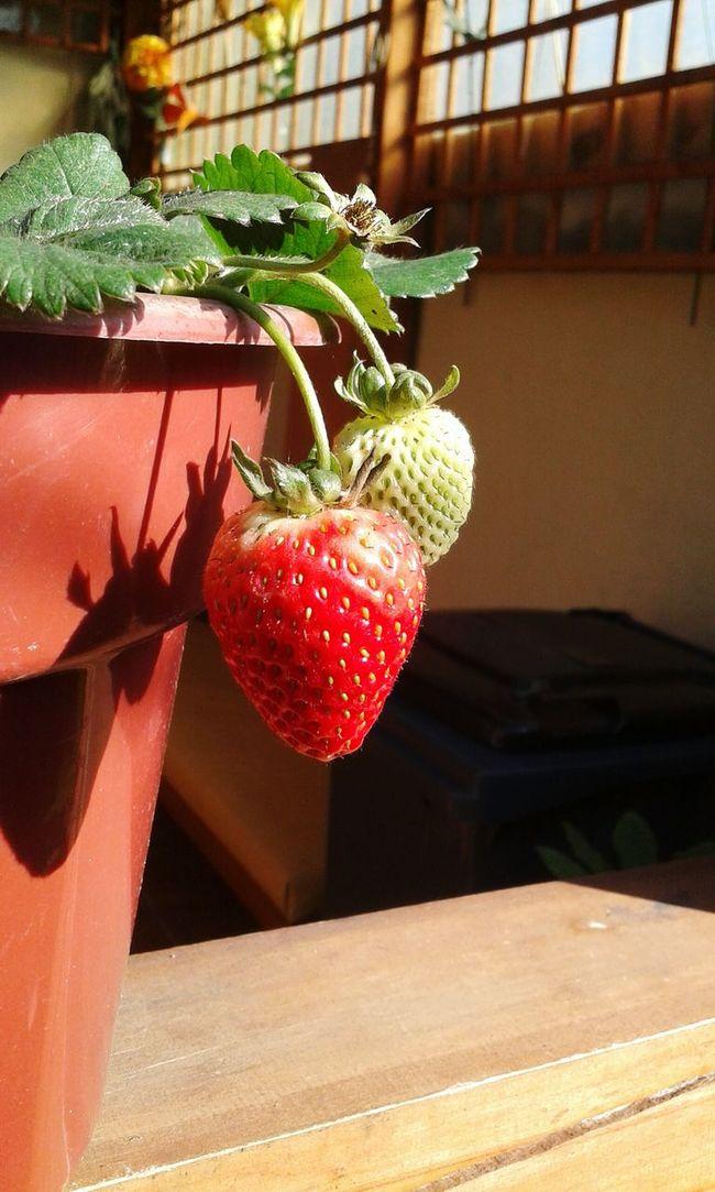 Strawberry Strawberrys Strawberry Plant Fruit EyeEm Gallery Eyeem Fruits EyeEm Fruit Collection