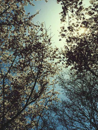 벗꽃. 봄.