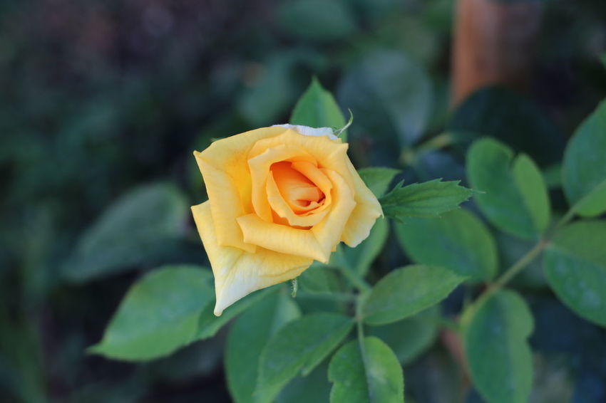 Flower Rose - Flower Nature Petal Leaf Fragility Plant Close-up Flower Head Freshness Beauty In Nature Springtime Growth Outdoors No People Yellow Day Beauty