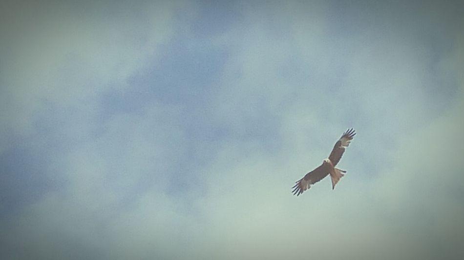 In Flight Bird Of Prey Soaring Birds Red Kite Over My House