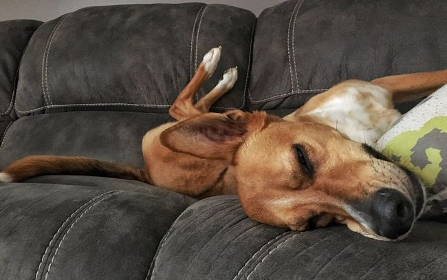 Dog Sleeping Napping Dogs Comfy  Funny Dog 1 Or 2 Animals